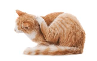 Chat se grattant à cause des puces