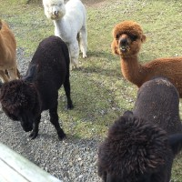 Stellar Alpacas because really alpacas!