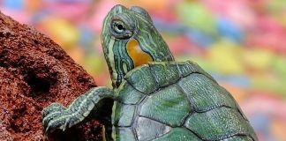 Criar tortuga