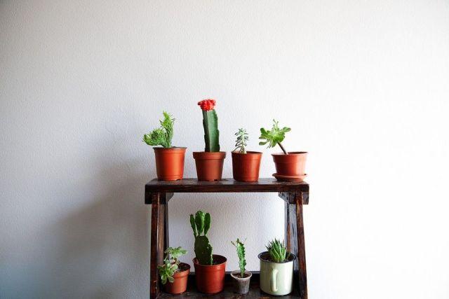 cactus-cuidados