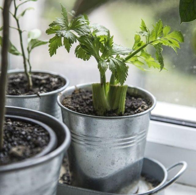 C mo es el cultivo del apio en maceta for Macetas cultivo interior
