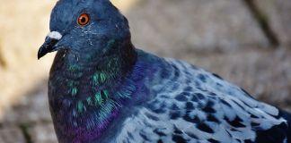 Cuidados palomas