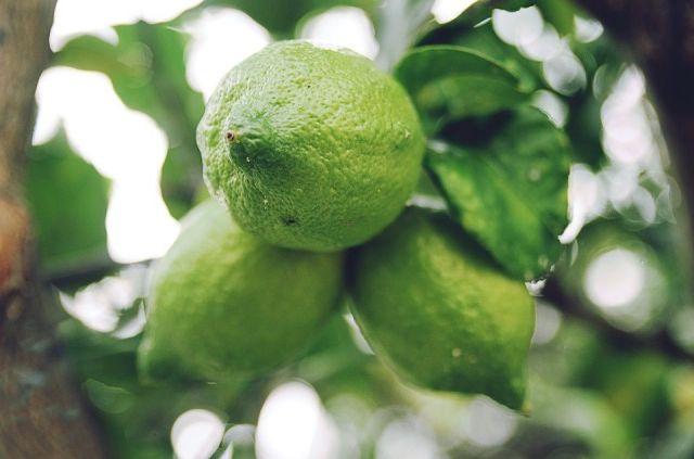 Pautas para el cultivo del limonero en maceta - Plantar limonero en maceta ...