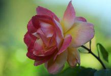 Podar rosal