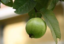 Cultivo guayaba