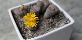 Lithops cactus