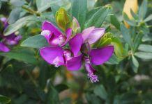 Polygala myrtifolia arbusto