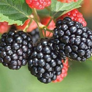 Wow Fruit Now! Triple Crown Blackberries