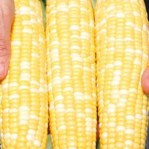 Gotta Have It Hybrid Sweet Corn