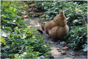 Chicken chasing garden mole.