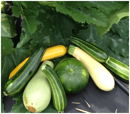 Mix of summer squash at the farm