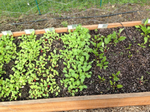 Radish and Beet Seedlings