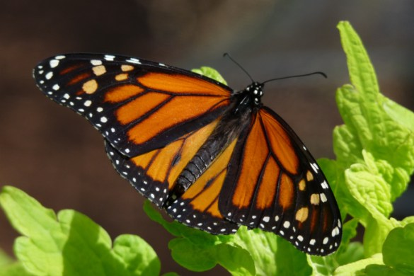 Monarch Butterfly on Chartreuse Green Plant Leaves Garden Scene