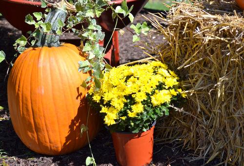 Pumpkins-Mums