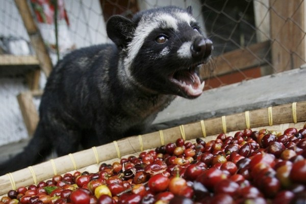 civet coffee
