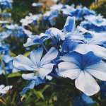 beautiful, peaceful blue flowers