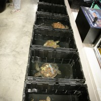 Cold Stunned Sea Turtles Find Help in OBX