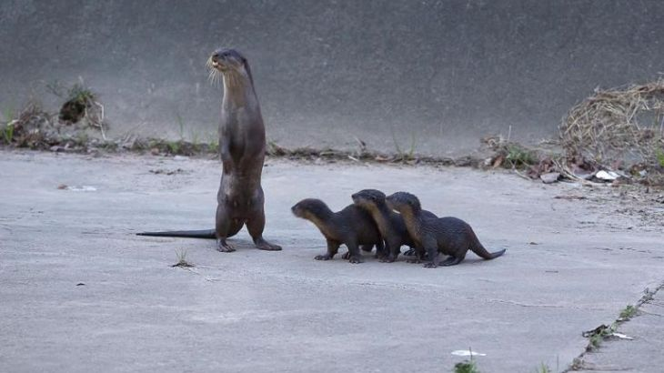 otters-at-bishan-ang-mo