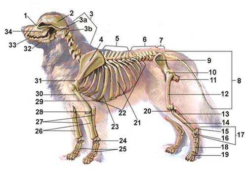 Anatomie-Skelett-550