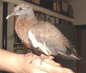 Vogelhanf