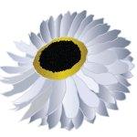 fleur_05-08_acroclinium