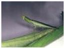 New Zealand Praying Mantis adult- care of Hortnet