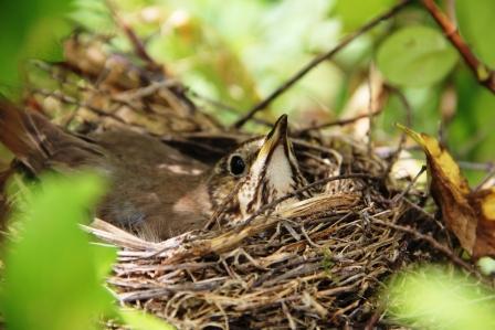 Nesting on her eggs