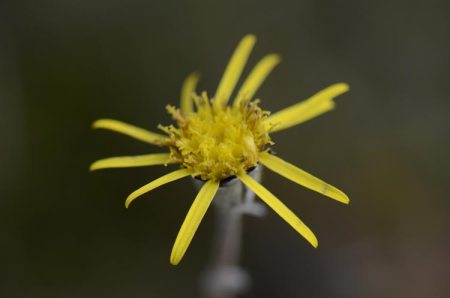 Ben Dhu Brachyglottis flower