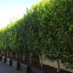Ficus tuffi availability - Specimen Tree Company