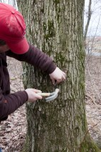 Putting the spile into the tree to collect sap.