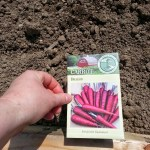 Then, the Dragon Carrot seeds and topsoil went into the corners of each bed.