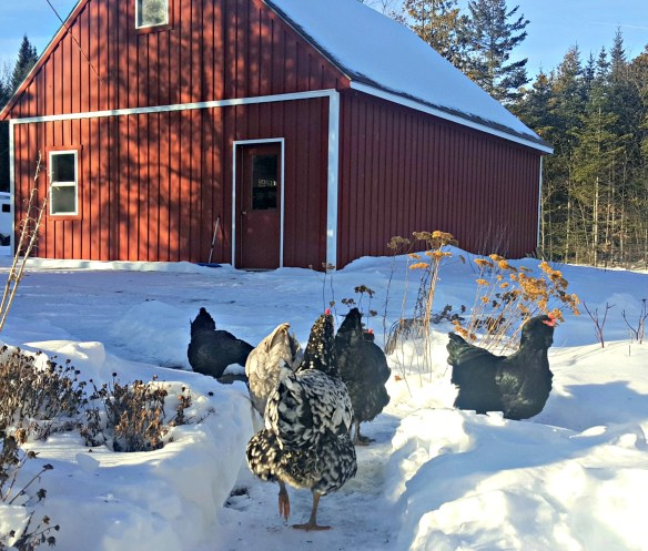lisa-steele-chickens-in-snow_barn