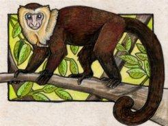 040113-capuchin