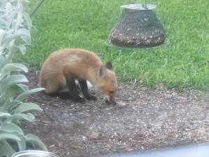 Fox pups in garden 017