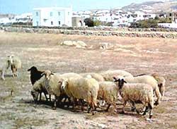 Les moutons de Mykonos et le meeeechant belier