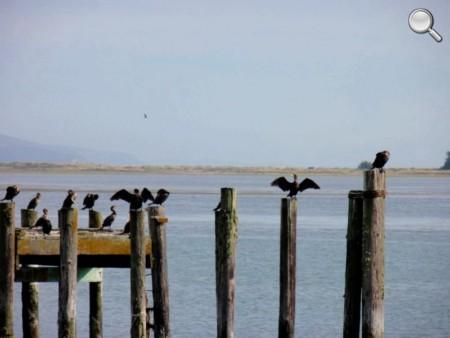 Oiseaux à Bodega Bay