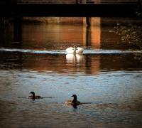 Swan Chasing Geese