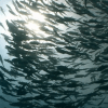 Shoal of fish near the surface of the ocean