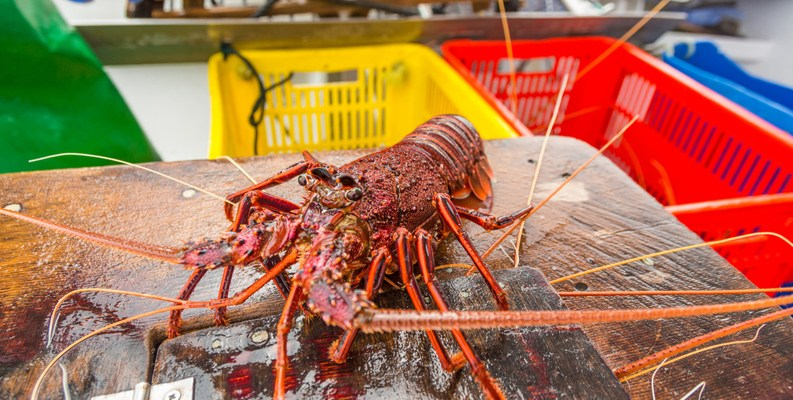 Western Australian rock lobster on table