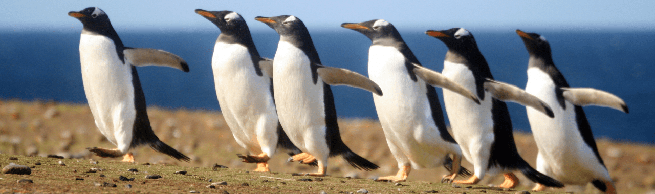 gentoo-penguins