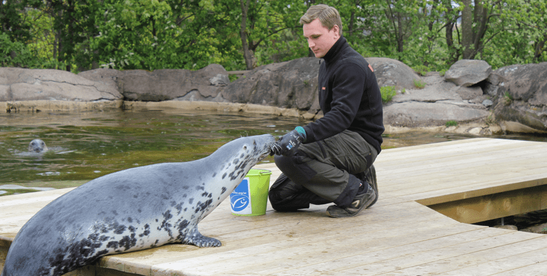 Amanda the grey seal being fed by a keeper at Skansen in Stockholm