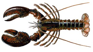 An illustration of a Homarus Americanus AKA American lobster