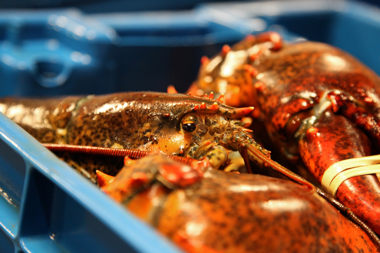 Sustainable lobster in blue crate at Maine Coast wholesalers
