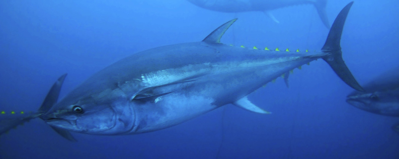 Yellowfin tuna swimming underwater - stock image