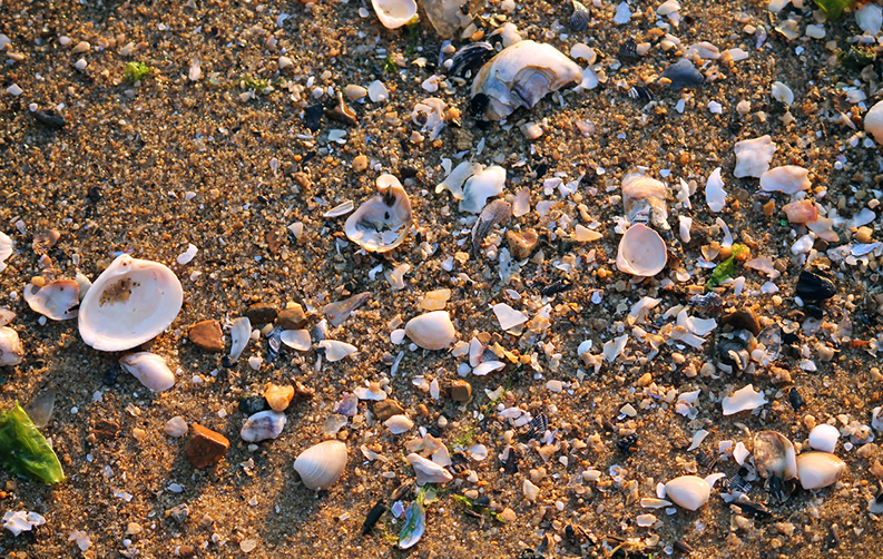 Shells washed up on sandy shore in evening light.