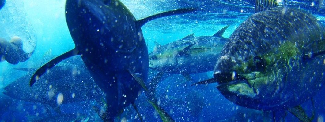 Yellowfin tuna inside a purse seine net. © Pacific Alliance for Sustainable Tuna (PAST)