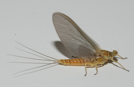 There are presently very heavy hatches of sulphur mayflies and the trout are taking the Murray's Sulphur Dry quite well.
