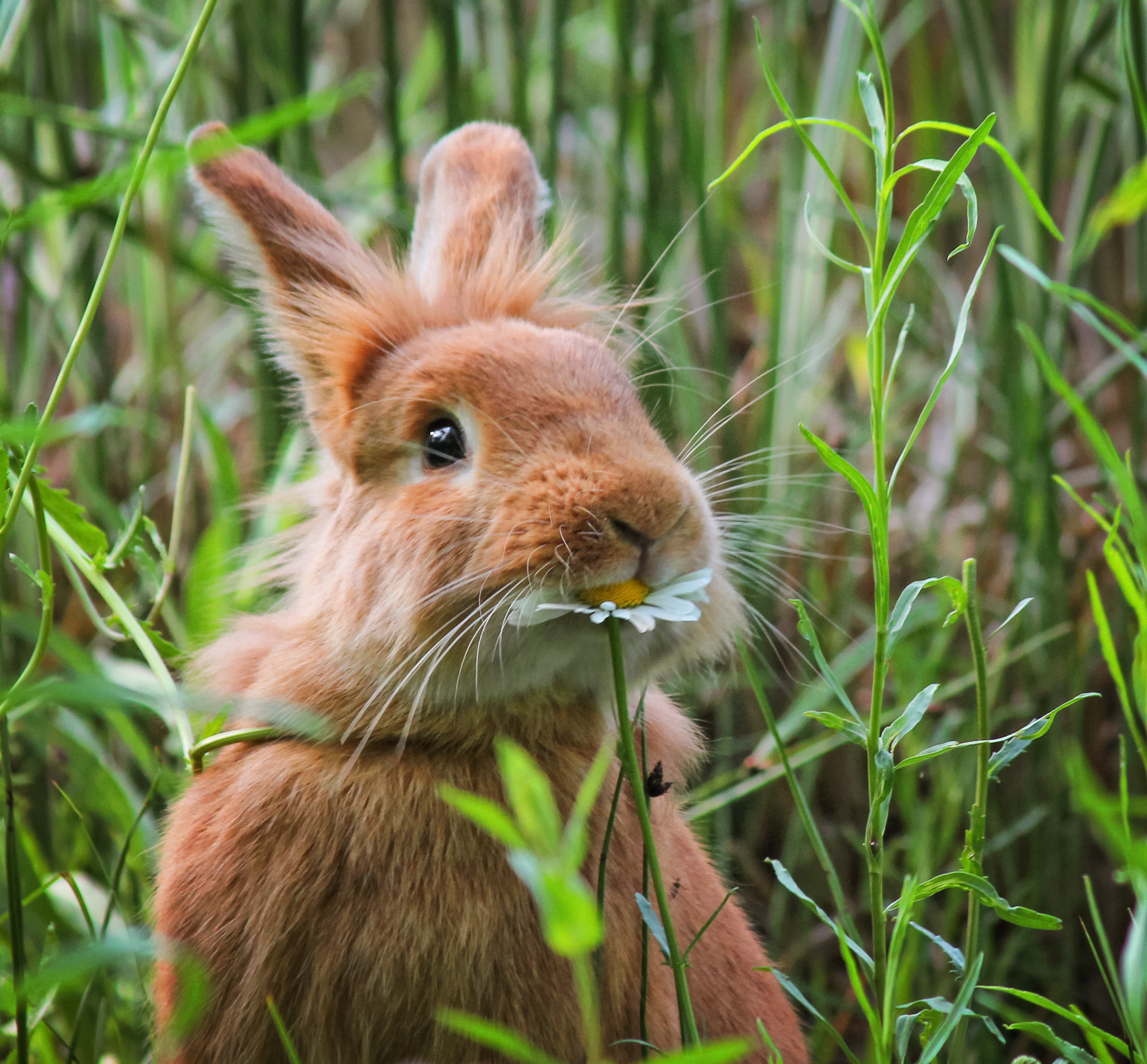 Comely A City Guard Your Rabbits Official Blog A Rabbit Eating A Daisy At A Local Wildlife Sanctuary Park Park Seed Will Rabbits Eat Watermelon Rinds Do Rabbits Eat Watermelon Plants houzz-02 Can Rabbits Eat Watermelon