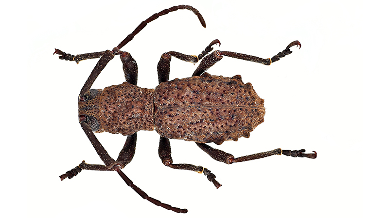 Beetle Reproduction The first long-horned ...