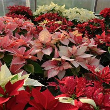 Poinsettias grown for the 2012 holiday season.